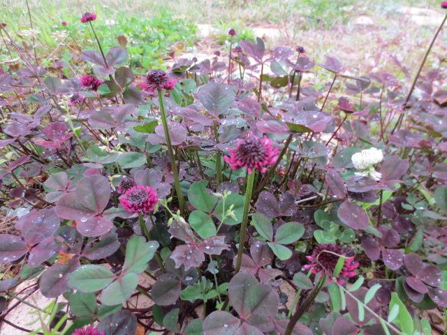 クローバーの花。赤紫の珍しい色です。