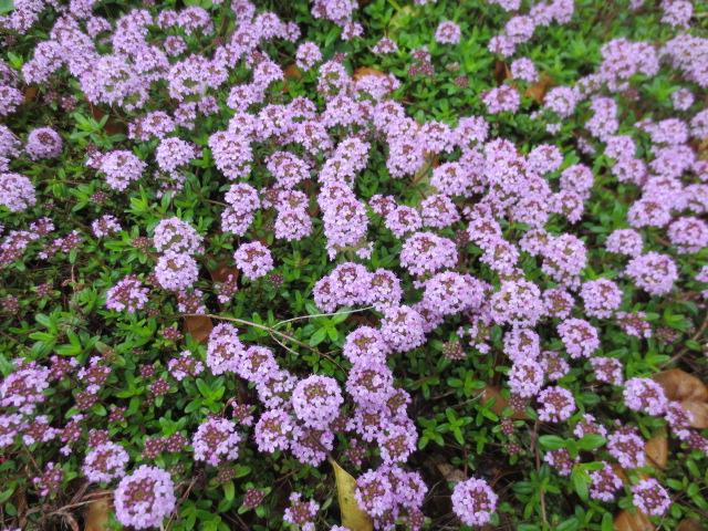 タイムの花も満開